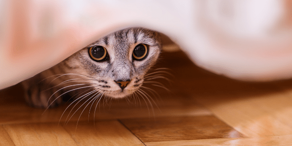 cat hiding could be sign of illness or stress