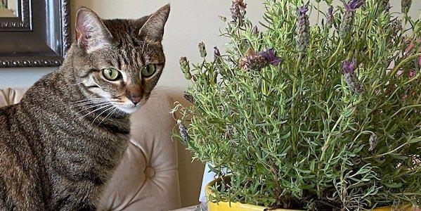 cat with lavender plants