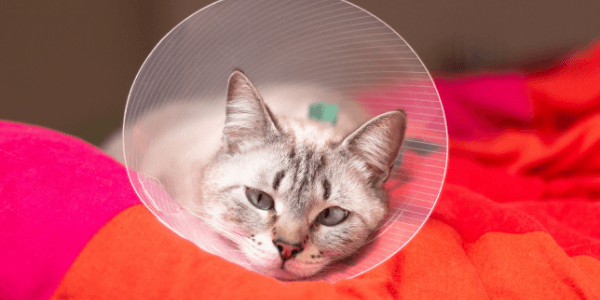 cat-cone-after-surgery