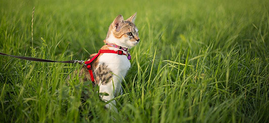 cat-leash-how-to-walk-cat-safely