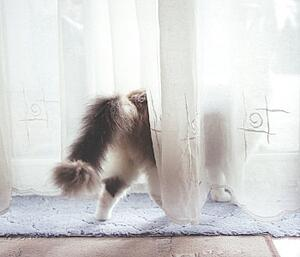cat-spraying-behind-drapes
