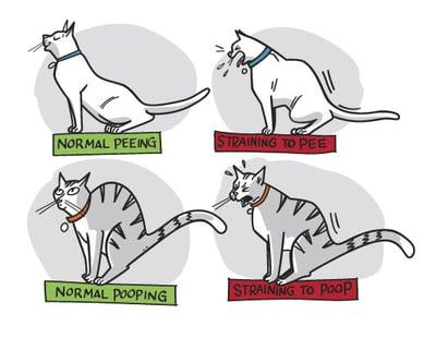 cat-straining-in-litterbox