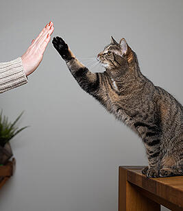 cat-training-high-five