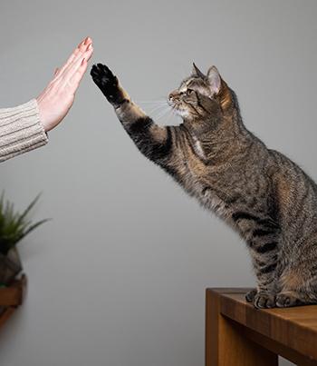 cat training high five