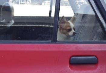 chihuahua looking out of car with closed windows