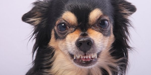 chihuahua showing teeth resource guarding signal