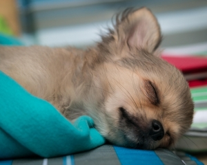 chihuahua-puppy-sleeping.jpg