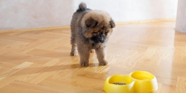 chow chow puppy not wanting to eat