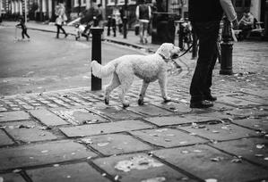 doodle-dog-walking-leash-on-street