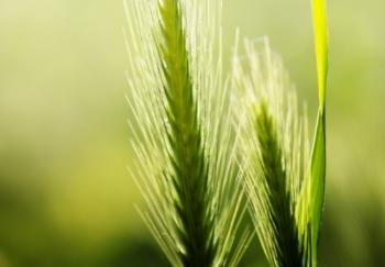 close up of foxtail