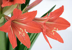 close up of red amaryllis flower bouquet