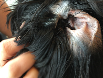 Should You Pluck Your Dogs Ear Hair