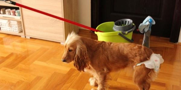 cocker spaniel stanidng in front of mop bucket