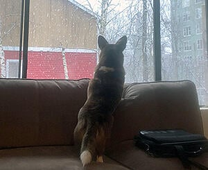 corgi alert looking out the window