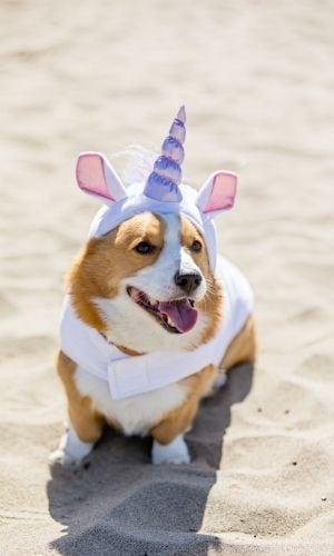 corgi in unicorn costume