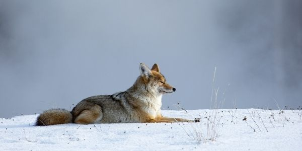coyote danger to pets