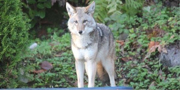 coyote neighborhood danger