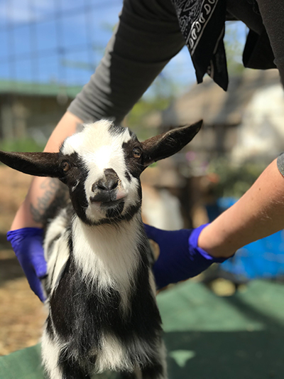 cute baby goat Moo from Puget Sound Goat Rescue