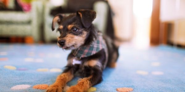 cute black and tan puppy ready to play indoors on blue rug