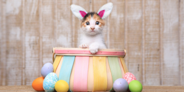 cute white orange and black cat wearing bunny ears in easter basket