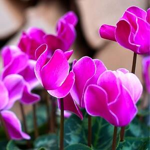 cyclamen plant is toxic to cats