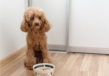 dark tan miniature poodle sitting in front of food bowl 350 canva