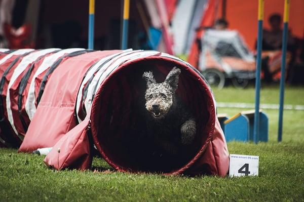 dog agility course training