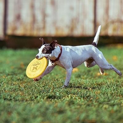 dog off leash playing frisbee