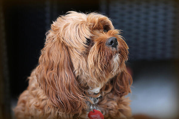 How Can I Tell If My Dog Is In Pain?