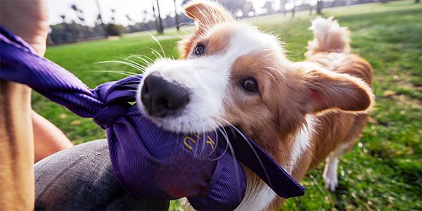dog playing tug with kong wubba