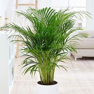 dog safe plant Areca Palm