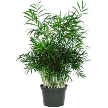 dog safe plant Chamaedorea Elegans