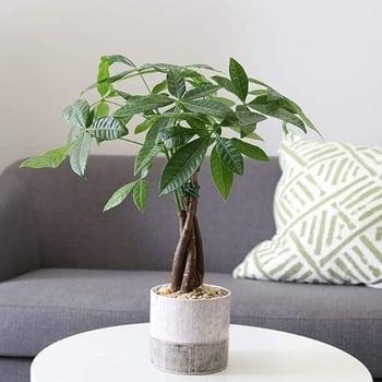 dog safe plant Money Tree Pachira
