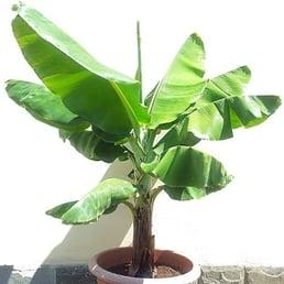 dog safe plant Musa Acuminata