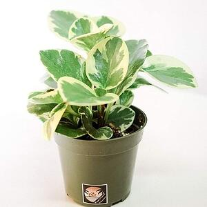 cat safe plant Peperomia Obtusifolia Variegata