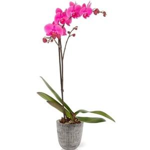 dog safe plant orchids