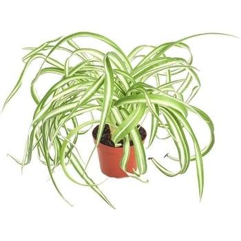 dog safe spider plant