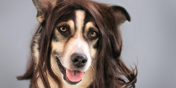 dog wearing a wig needs grooming