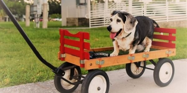 dog with arthritis being pulled in a wagon