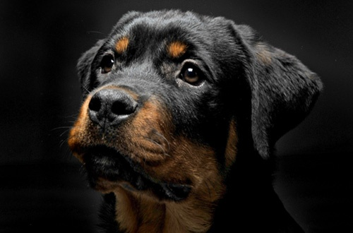 dog health and safety tips rottweiler