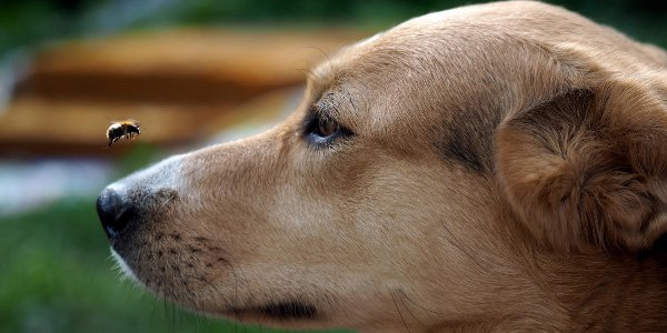 dog looking at bee flying by their nose