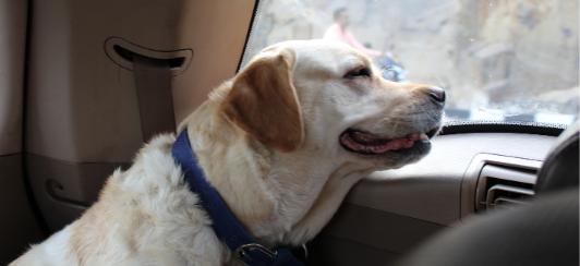 dog-car-sickness