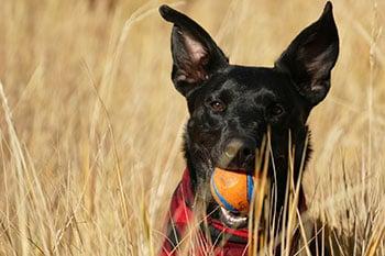 dog-fetch-field-ball-350