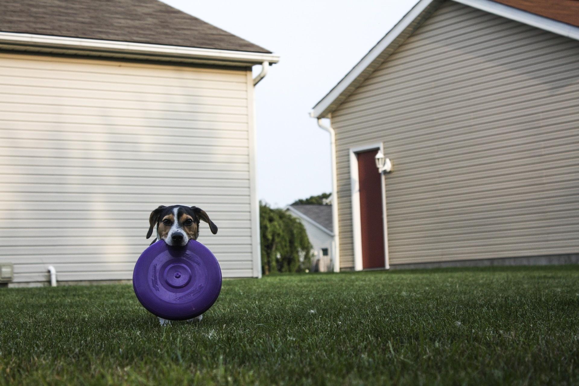 Dog Fetch With Frisbee in Yard