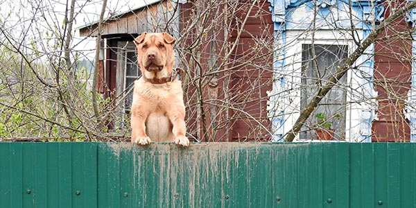 dog looking over fence on alert