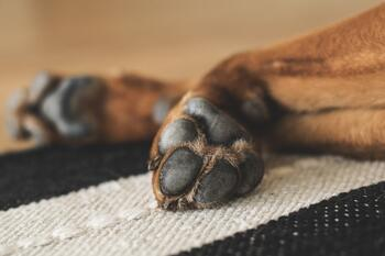How to Properly Care for Your Dog's Paw Pads