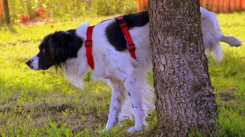Dog Peeing On Tree