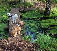 dogs-blue-green-algae