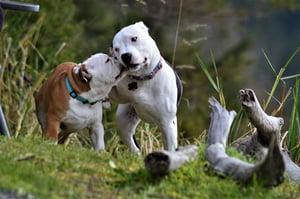 dogs-playing-unsplash