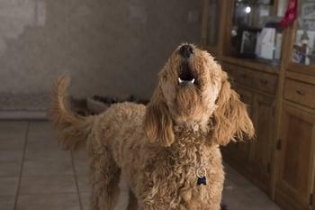 doodle-barking
